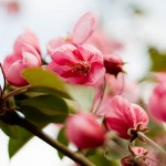 Aromatherapy benefits Spring Flowers | aromaterapie beneficii