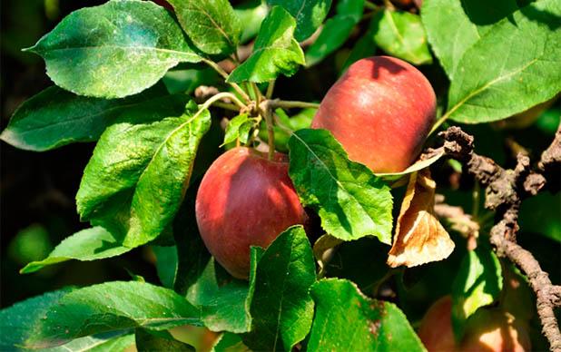 Mere rosii bio Concurs legume si fructe bio