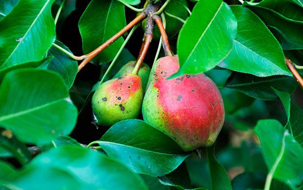 Pere in copac Concurs legume si fructe bio