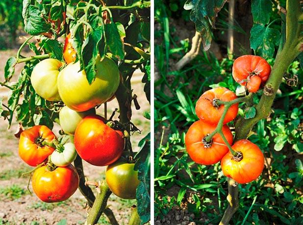 Rosii bio ciorchine Concurs legume si fructe bio