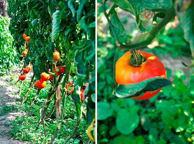 Rosii bio eco sanatoase ciorchine