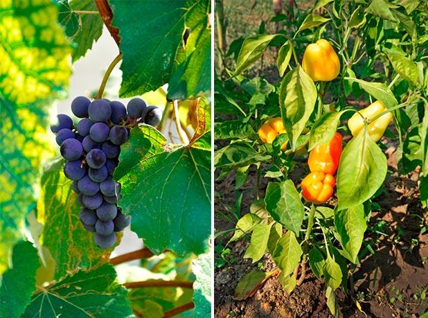 Struguri de vin ciorchine si ardei grasi bio gradina Concurs legume si fructe bio