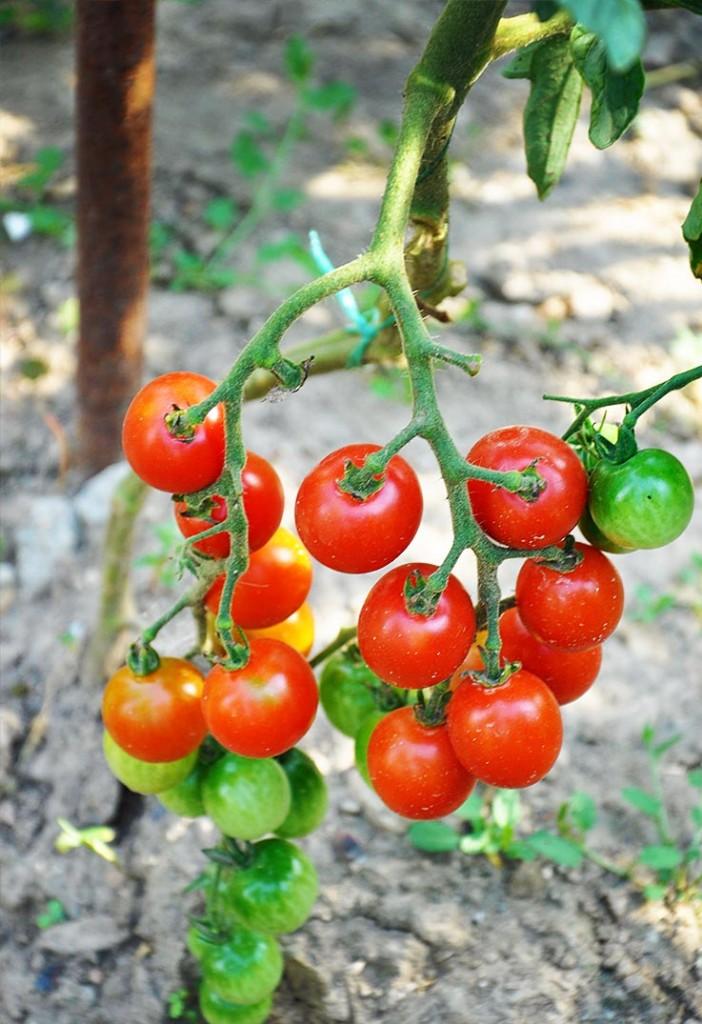 organic cherry tomatoes garden