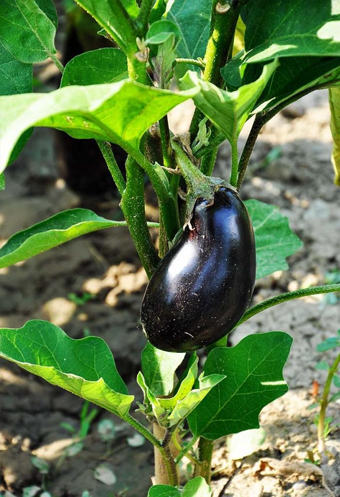 organic eggplants garden