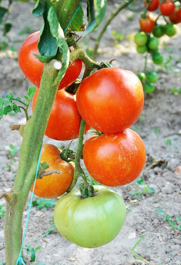 organic tomatoes garden