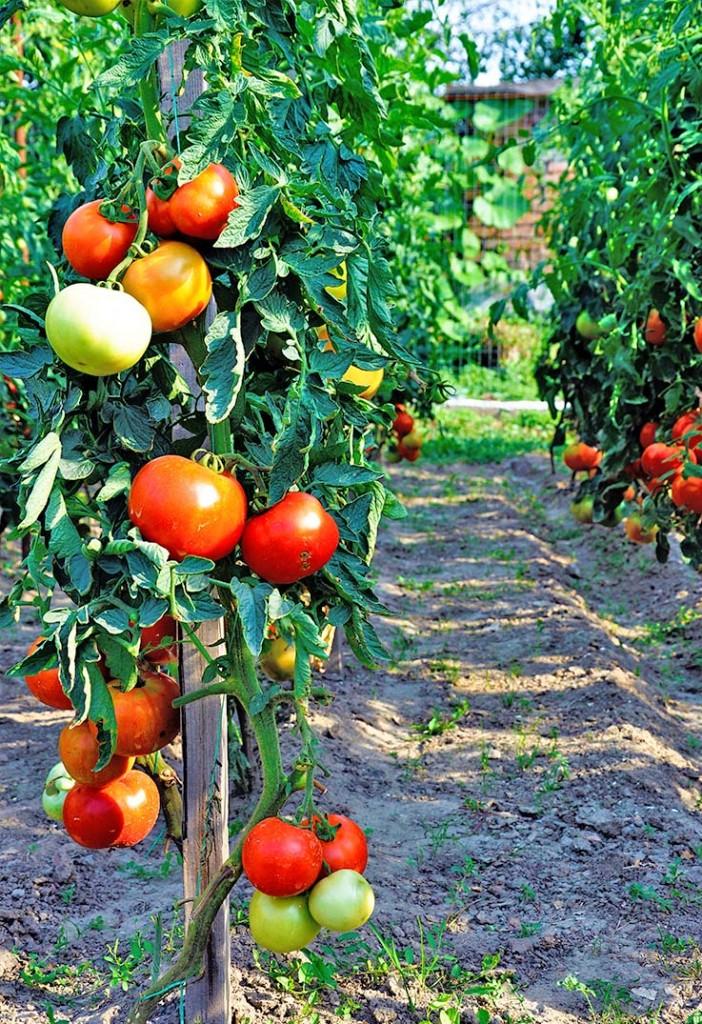 organic tomatoes garden eco