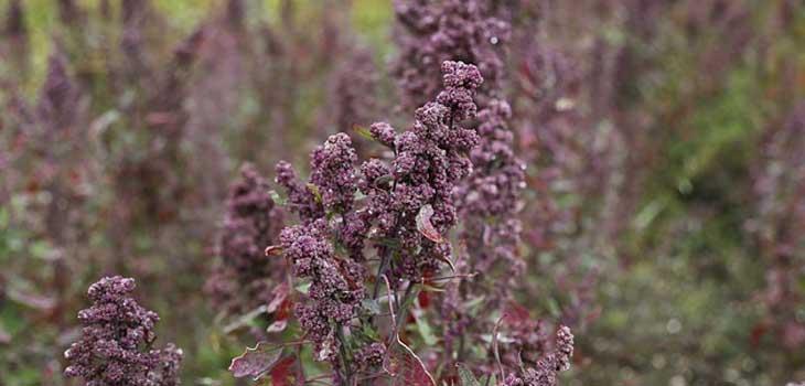 what-is-quinoa-plant