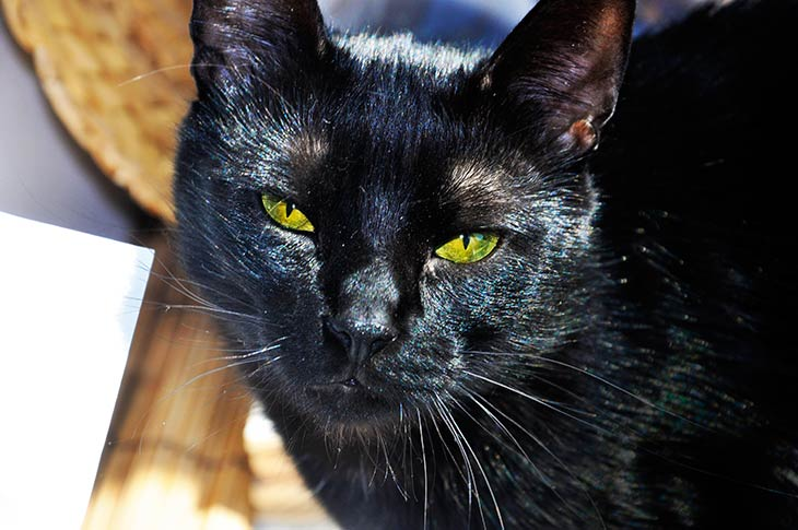 pisulina black cat